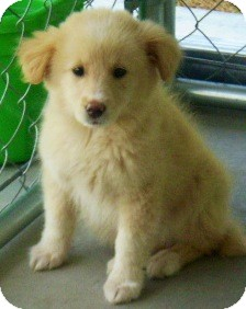 Golden Retriever/Border Collie Mix Puppy for adoption in Oswego, Illinois - I'M ADOPTED Sable Curtin