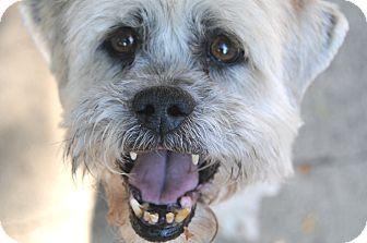 Lhasa Apso/Shih Tzu Mix Dog for adoption in Denver, Colorado - Ernie