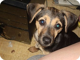 Feist/Shepherd (Unknown Type) Mix Puppy for adoption in Bedminster, New Jersey - Tinker Belle