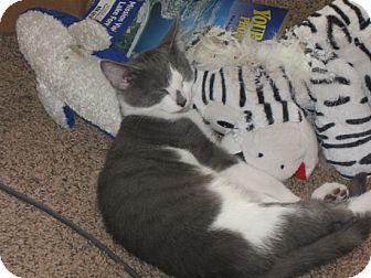 Domestic Shorthair Kitten for adoption in Laguna Woods, California - Cameron&Smudge