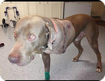 Weimaraner Dog for adoption in Loxahatchee, Florida - TOBIE