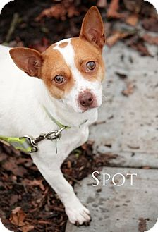 Jack Russell Terrier/Chihuahua Mix Dog for adoption in Portland, Oregon - SPOT