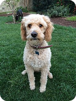 Poodle (Miniature)/Labradoodle Mix Dog for adoption in Los Angeles, California - Neville