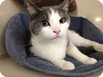 Domestic Shorthair Cat for adoption in Chandler, Arizona - Mina