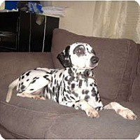Adopt A Pet :: Patch - Middletown, PA