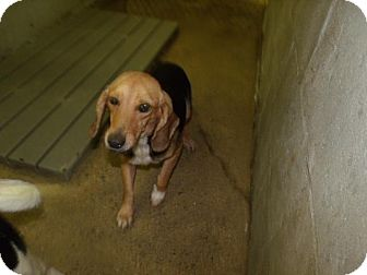 Beagle Mix Dog for adoption in Rocky Mount, North Carolina - Wilma