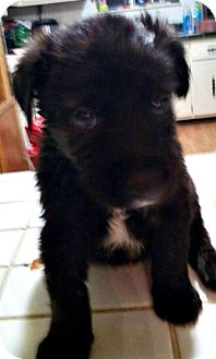 Australian Shepherd Mix Puppy for adoption in ST LOUIS, Missouri - Mendoza