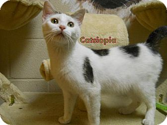 Domestic Shorthair Cat for adoption in Lewisburg, West Virginia - Catsiopia