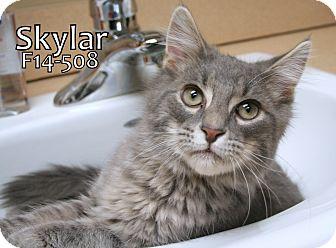 Domestic Longhair Cat for adoption in Tiffin, Ohio - Skylar