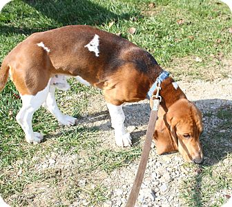 Basset Hound Dog for adoption in LaGrange, Kentucky - EVAN