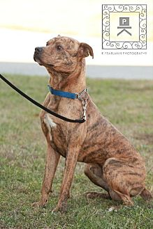 American Pit Bull Terrier/Boxer Mix Dog for adoption in Fredericksburg, Virginia - Tony- Tri County Pit Bull Rescue