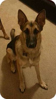 German Shepherd Dog Dog for adoption in SCOTTSDALE, Arizona - MOOSE