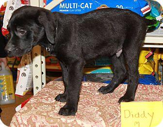 Labrador Retriever/Hound (Unknown Type) Mix Puppy for adoption in Staunton, Virginia - Diddy
