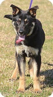 Shepherd (Unknown Type) Mix Dog for adoption in Groton, Massachusetts - Beau