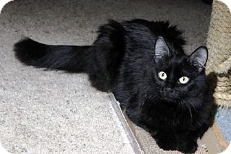 Domestic Longhair Cat for adoption in Anoka, Minnesota - Orchid