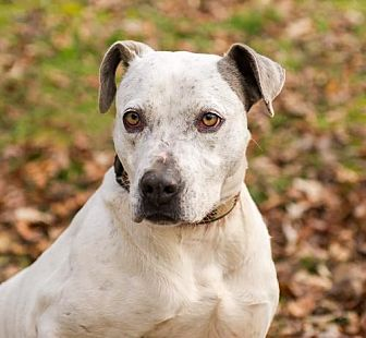 Pointer/Pit Bull Terrier Mix Dog for adoption in Blairsville, Georgia - Grayson