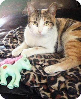 American Shorthair Cat for adoption in San Diego, California - Tita