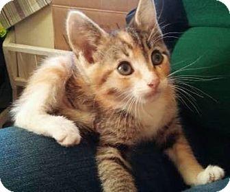 American Shorthair Kitten for adoption in Meridian, Idaho - Annabel