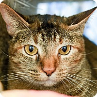 Domestic Shorthair Cat for adoption in San Antonio, Texas - Brooke