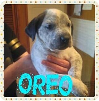 Australian Cattle Dog/Pit Bull Terrier Mix Puppy for adoption in Wichita Falls, Texas - Oreo