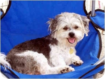 Poodle (Miniature)/Terrier (Unknown Type, Small) Mix Dog for adoption in Los Angeles, California - VINNIE