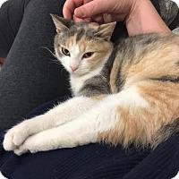 Adopt A Pet :: Candy Corn - Fairfax, VA