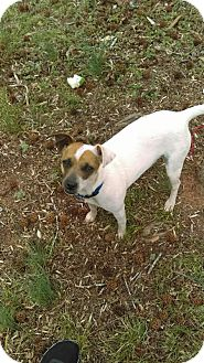 Jack Russell Terrier Mix Dog for adoption in Newtown, Connecticut - Lola