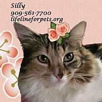Calico Cat for adoption in Monrovia, California - A Young Female: SILLY!