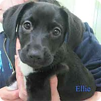Adopt A Pet :: Ellie - Warren, PA