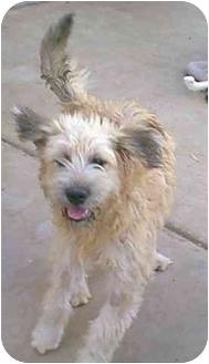 Briard Mix Dog for adoption in dewey, Arizona - Bubba