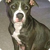 Adopt A Pet :: Blu (COURTESY POST) - Baltimore, MD