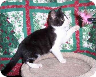 Domestic Shorthair Kitten for adoption in Brighton, Michigan - Laurel