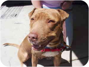 Shar Pei/Staffordshire Bull Terrier Mix Dog for adoption in Auburn, California - Miss Loba