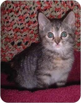 Domestic Shorthair Kitten for adoption in Honesdale, Pennsylvania - Lanie