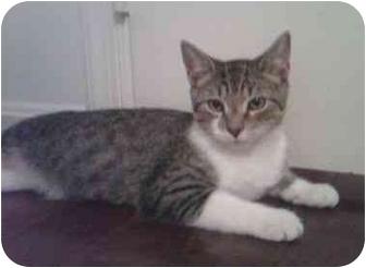Domestic Shorthair Kitten for adoption in Reston, Virginia - Allegro