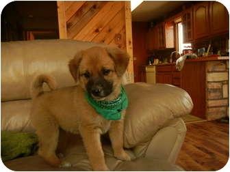 Collie Mix Puppy for adoption in Glastonbury, Connecticut - Paddington