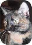 Domestic Shorthair Cat for adoption in Wheaton, Illinois - Lola
