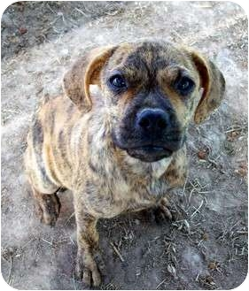 Black Mouth Cur Mix Puppy for adoption in Waller, Texas - Brindy