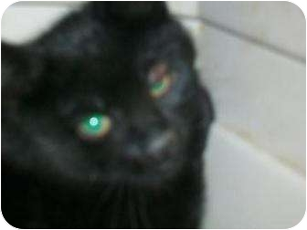 Domestic Mediumhair Cat for adoption in Munster, Indiana - Tinker