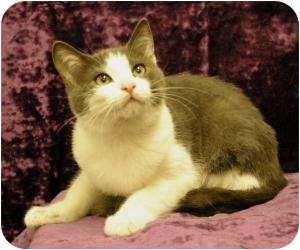 Domestic Shorthair Cat for adoption in Sacramento, California - John