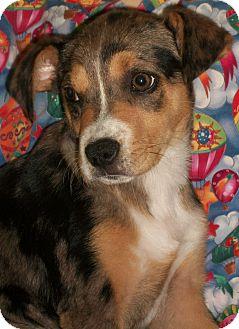 Beagle/Cattle Dog Mix Puppy for adoption in Harrisonburg, Virginia - Moxy