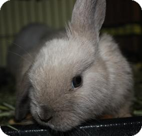 Mini Lop Mix for adoption in West Des Moines, Iowa - Tuffy