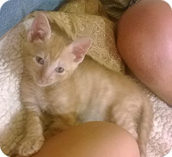 Domestic Shorthair Kitten for adoption in East Hanover, New Jersey - Robbie