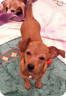 Chihuahua/Dachshund Mix Puppy for adoption in Alexis, North Carolina - Vern
