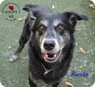 Labrador Retriever/Shepherd (Unknown Type) Mix Dog for adoption in Youngwood, Pennsylvania - Rambo