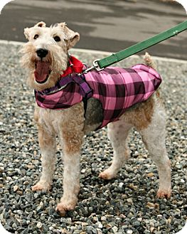 Wirehaired Fox Terrier Mix Dog for adoption in Bellingham, Washington - Lizzie
