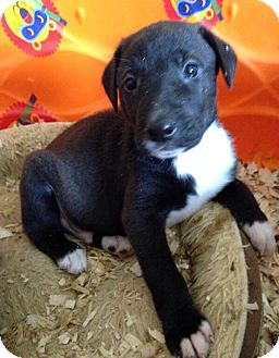 Labrador Retriever Mix Puppy for adoption in Mountain Lakes, New Jersey - Choc lab pups