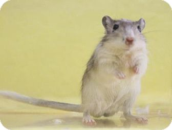 Gerbil for adoption in Benbrook, Texas - Geary