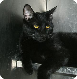 Domestic Shorthair Kitten for adoption in El Cajon, California - Bagheera
