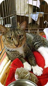 Domestic Shorthair Cat for adoption in Acushnet, Massachusetts - Ty